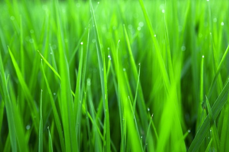 paddy rice in Green  photo