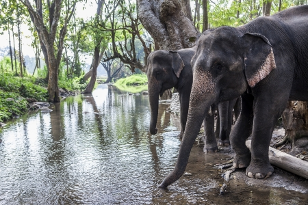 Two asia elephant drinking water in tropical forest