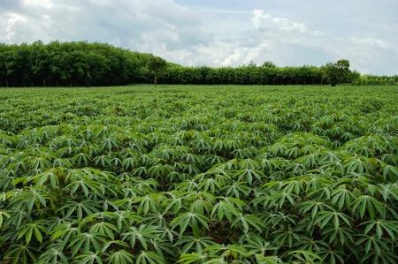cassava farm in thailand Stock Photo - 17304275