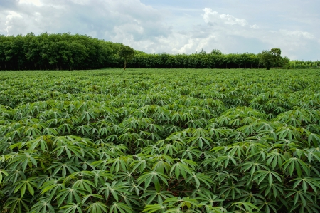 cassava farm in thailand Stock Photo - 17304275