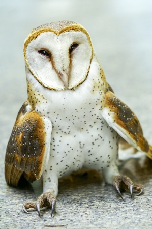 Close up of a Barn Owl Stock Photo - 17425891