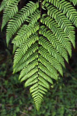 Silver fern sign of Newzealand Stock Photo - 20724749