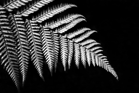 Silver fern in black and white sign of Newzealand Stock Photo - 20724750