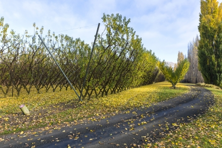 vineyards in autumn colors at Cromwell, Otago New Zealand photo