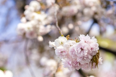 Japanese cherry blossoms Stock Photo - 21354534