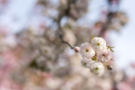 Japanese cherry blossoms Stock Photo - 21354605