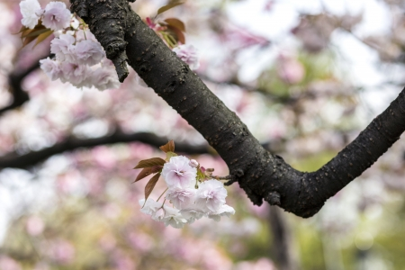 Japanese cherry blossoms Stock Photo - 21354608