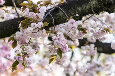 Japanese cherry blossoms Stock Photo - 21354610