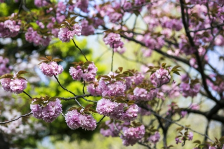 Japanese cherry blossoms Stock Photo - 21354612