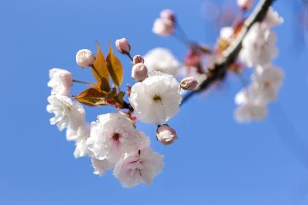 Japanese cherry blossoms photo