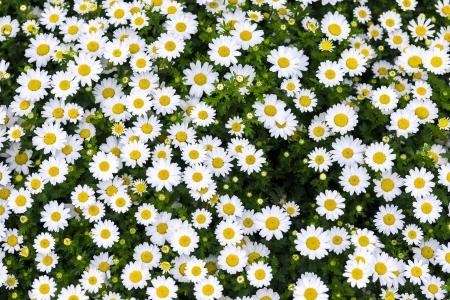 white daisy flowers photo