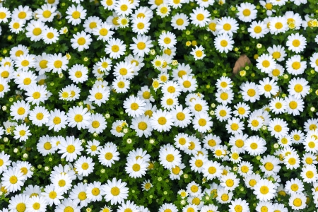 white daisy flowers photo