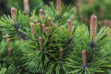 Young pine cones in natural background Stock Photo - 21635292