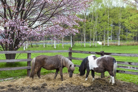Two poni horse in stall with cherry blossoms Hokkaido, Japan Stock Photo