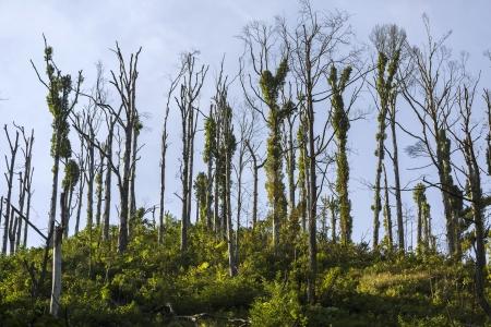 kwaśne deszcze: Martwe drzewa efekt zanieczyszczenia środowiska
