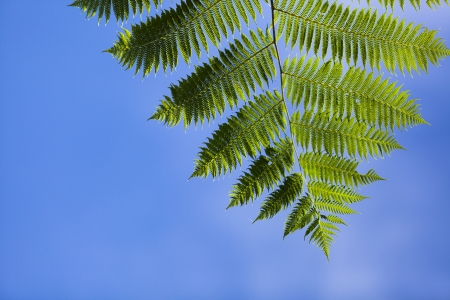 Tree ferns leaf in blue sky photo