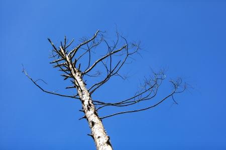 Dead tree against in blue sky