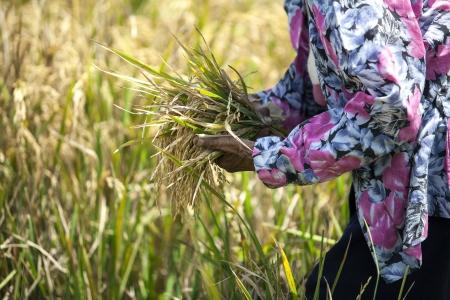 Farmer harvest rice field in Bali, Indonesia Stock Photo
