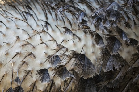 New Ostrich Feathers close-up texture
