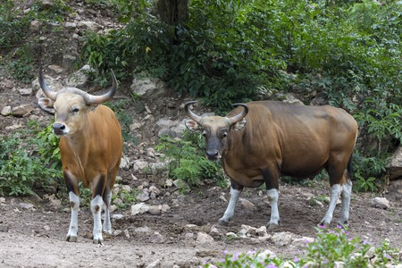 bos: Banteng (Bos javanicus) or redbull in the forest of Thailand