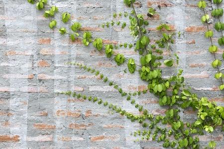 Green Creeper Plant on a brick Wall