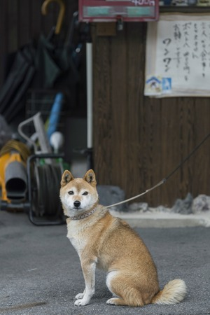 KYOTO, JAPAN - 19 NOVEMBER 2015: Red shiba inu is tethered to the front home, the shiba Inu was originally bred for hunting