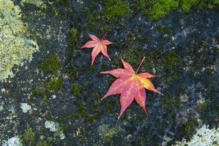 Japanese maple leaves on stone in autumn Stock Photo