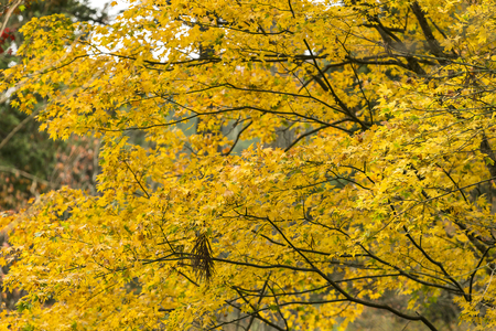 Japanese Maple leaves in Autumn, Japan