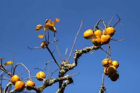 Japanese plum (Prunus salicina) tree in autumn