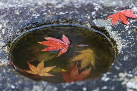 Japanese Maple leafs in the rock hole with water and reflection on the water in Autumn, Kyoto, Japan