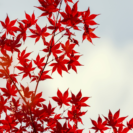 colours tints: Japanese Maple leaves in autumn Japan, vintage style