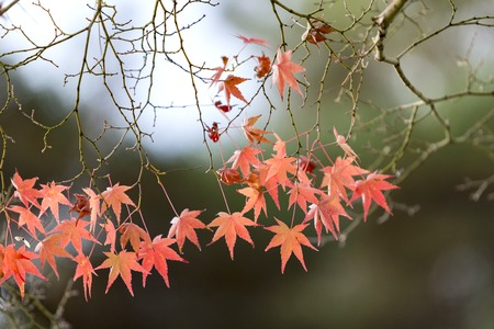turn of the year: Japanese Maple leaves in autumn, Japan