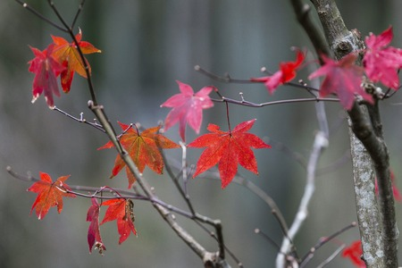 colours tints: Japanese Maple leaves in Autumn, Japan