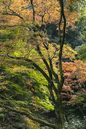 turns of the year: Japanese Maple leaves in Autumn, Japan