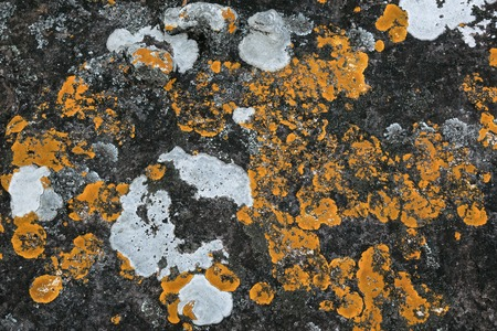 yellow lichen (Cructose lichen) growing on stone