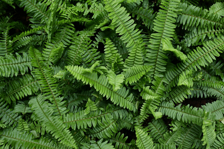 Sword Fern (Polystichum munitum) in garden