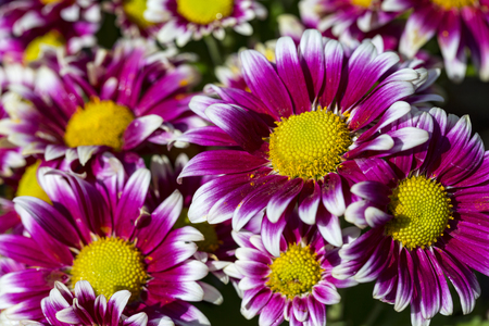Purple Chrysanthemum flowers background