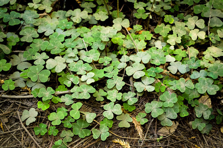 Clover Patch in MuirWoods photo