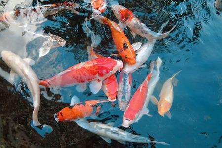 gills: Koi Fish Pond