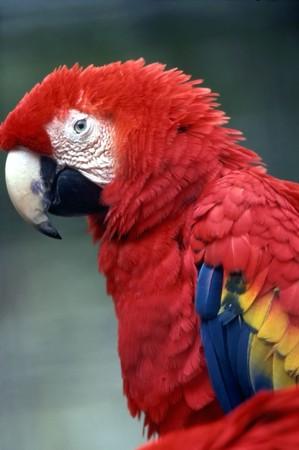 parot: Scarlet Macaw
