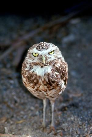 burrowing: Burrowing Owl