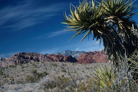 yucca: Yucca Tree in desert, Nevada Stock Photo
