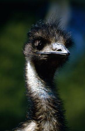 emu: EMU  Foto de archivo