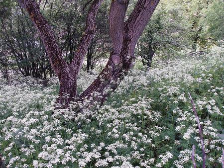 walnut tree: Walnut tree in garden with white flowers