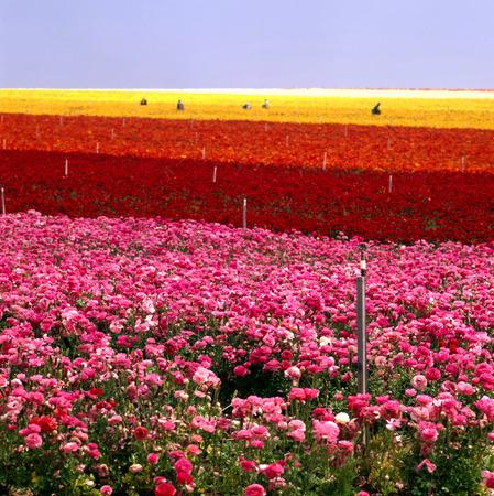carlsbad: Flower Farm Stock Photo