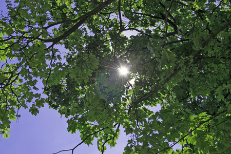 chestnut tree: Sun Rays passing trough leaves on chestnut tree