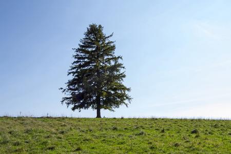champ vert: Lone Tree avec le champ vert sur la colline