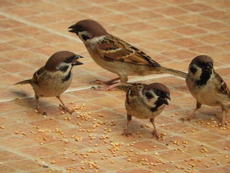 sparrow birds eating