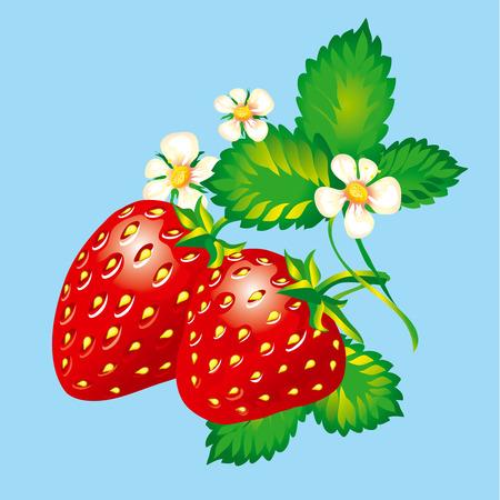 frutos rojos: Fresas Vectores