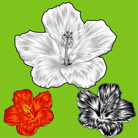 beautiful red hibiscus flower: Hibiscus Flower Blossom variaciones  Vectores